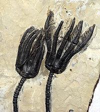 From Wikipedia: Echinoderms