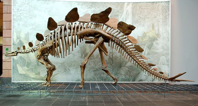 Stegosaurus, ddd Museum, from Wikipedia. Note the tiny head.
