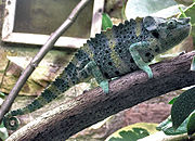 Chameleon. From Wikipedia: Chameleon