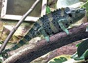 Chameleon. From Wikipedia: Chameleon