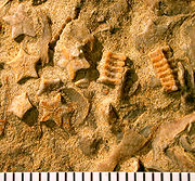Crinoid columns (from Wikipedia: Crinoid; credit: xxx)
