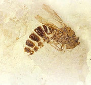 Fossil wasp from the Florissant Formation (credit: xxx)