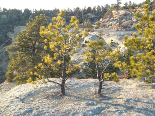 Ponderosa pine saplings growing out of a fracture on top of a bedding plane.